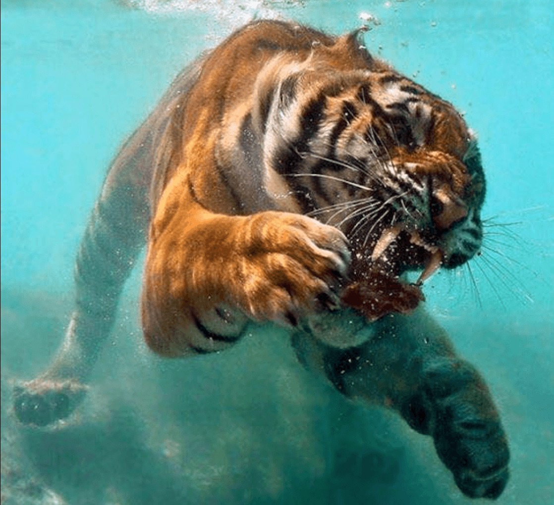 Aqua Tigre