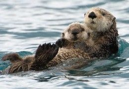 loutre_bebe_calin_tendresse
