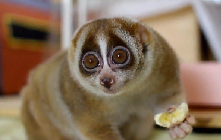 photo_loris_animal_mignon